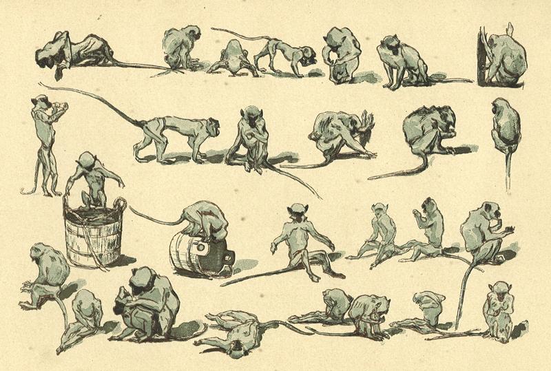 renouard-singes